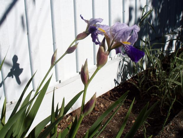 Kanske gladiolus... eller möjligen iris?