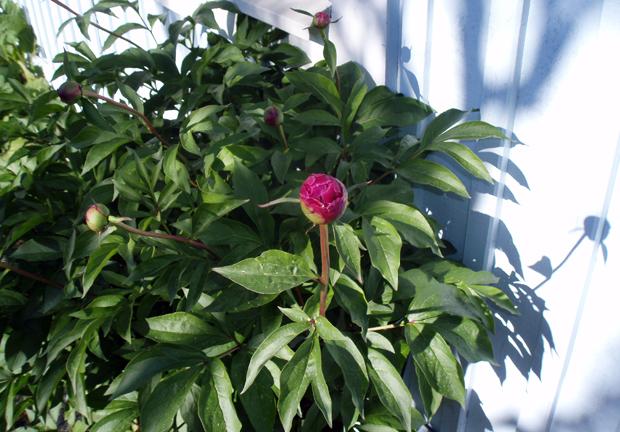 Pionknoppar på väg att brisa ut i blom